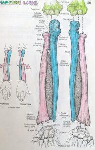 botten leren menselijk lichaam